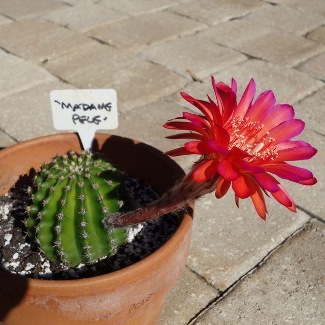 madame-pele-14-mai-2014-cactus-et-fleur-vue-de-cote