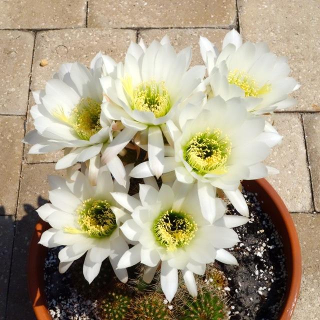 swarzianus-six-fleurs